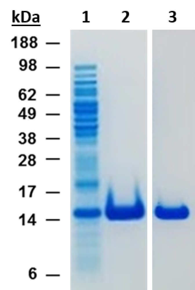 SDS PAGE SUMO purification by nanoCLAMP SMT3-A1 affinity chromatography