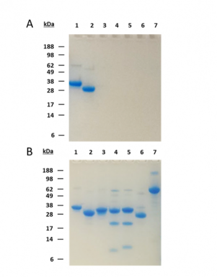 Gel for cross-reactivity of nanoCLAMP GFP-A1
