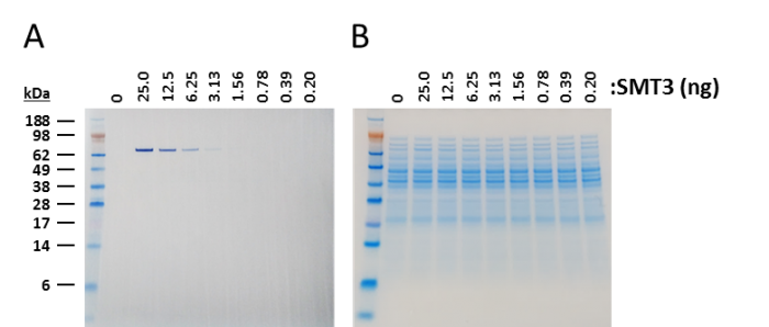 Western blot of yeast SUMO with nanoCLAMP SMT3-A1