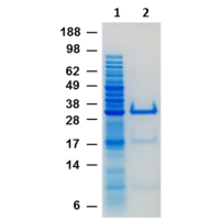 SDS PAGE mCherry purification by nanoCLAMP mCher-A2 affinity chromatography