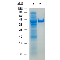 SDS PAGE thermoredoxin purification with nanoCLAMP trxA-A1 affinity chromatography
